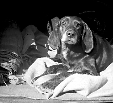 Plott Hound at Rest