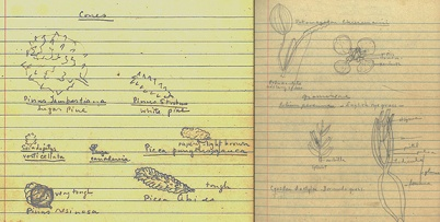 Drawings of various plants from Mary Coker's notes for a taxonomy course at Vassar College