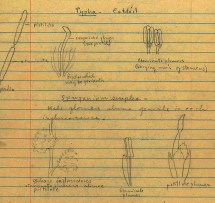 Drawings of Typha (cattails) and Sparganium simplex in Mary Coker's notes for a taxonomy course at Vassar College, 1943–1944.